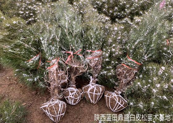 冬天可以栽白皮松吗?