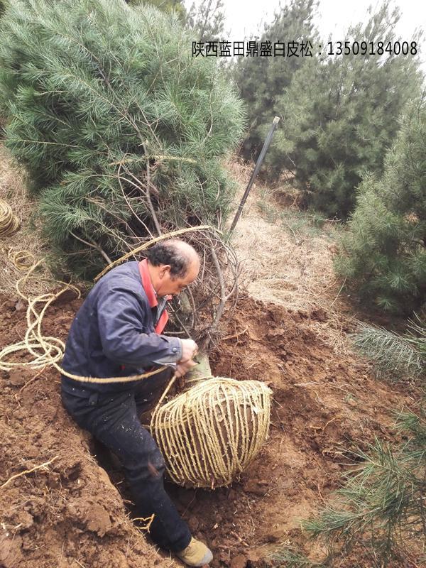 白皮松起苗挖树过程