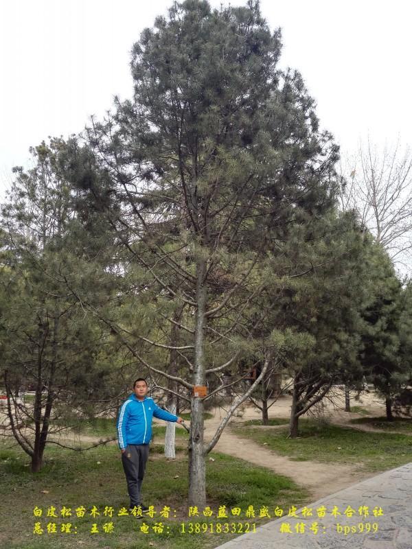 西安兴庆公园的白皮松
